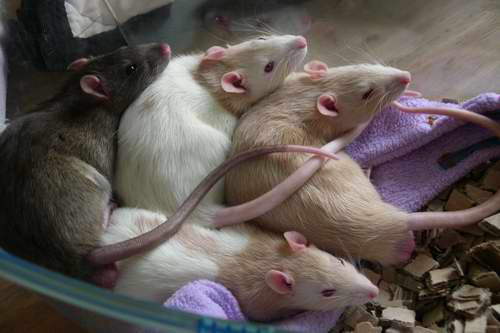 june-all-rats