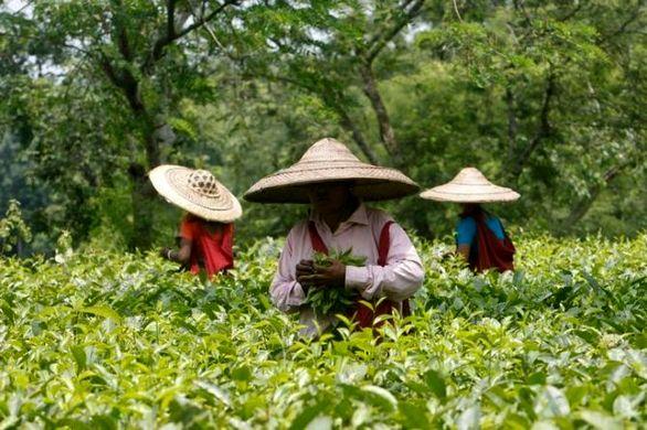 بزرگترین خریدار چای هند مشخص شد