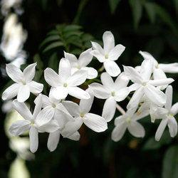 یاس رازقی، گلی که هر خانهای باید داشته باشد