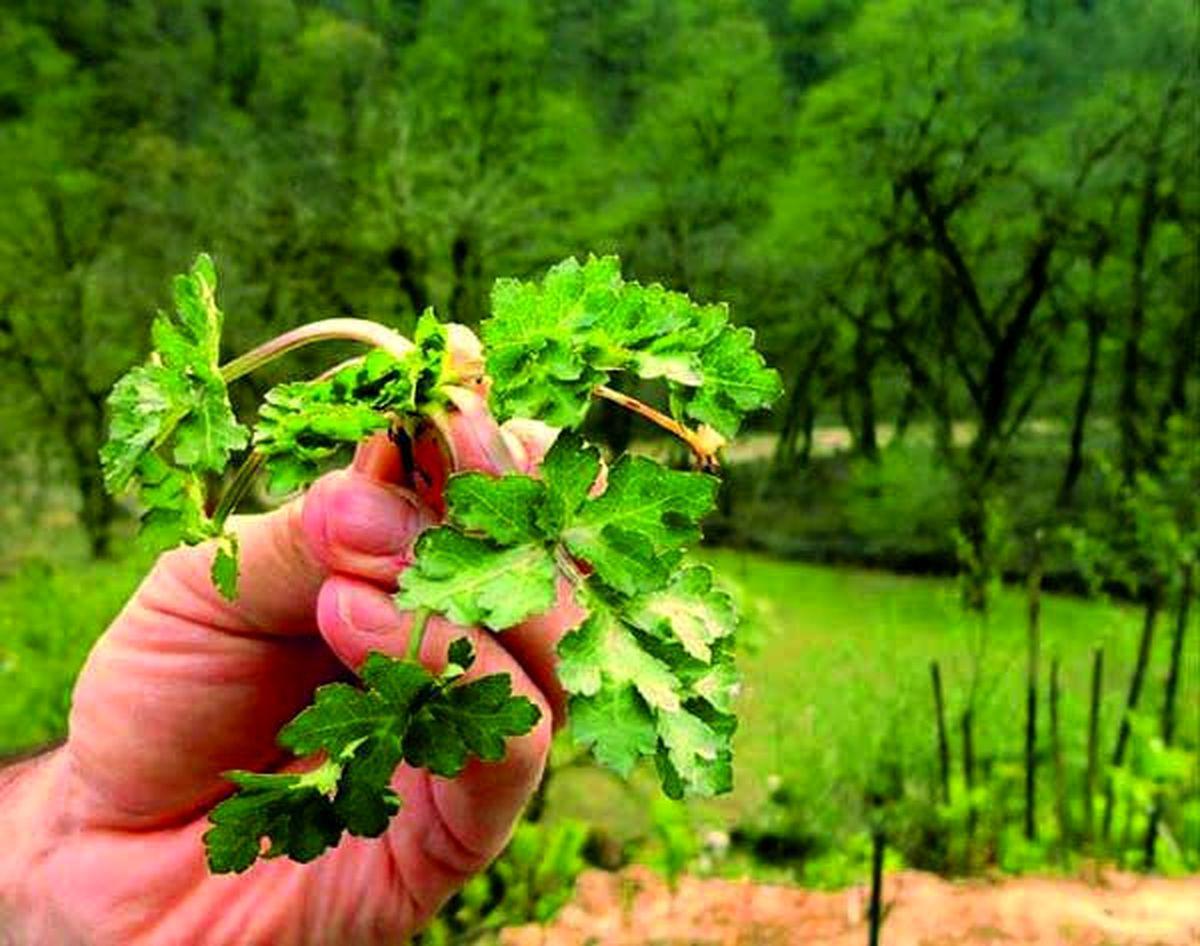 این گیاه رقیب اسفناج برای درمان کم خونی است
