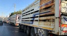 ترانزیت دام زنده از ترکیه به قطر از مرز بازرگان از سر گرفته می شود