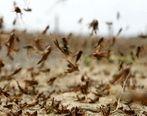 بیسابقهترین حمله ملخها در 25 سال گذشته امنیت غذایی را تهدید میکند