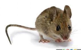 موش یک خانه را اتش زد