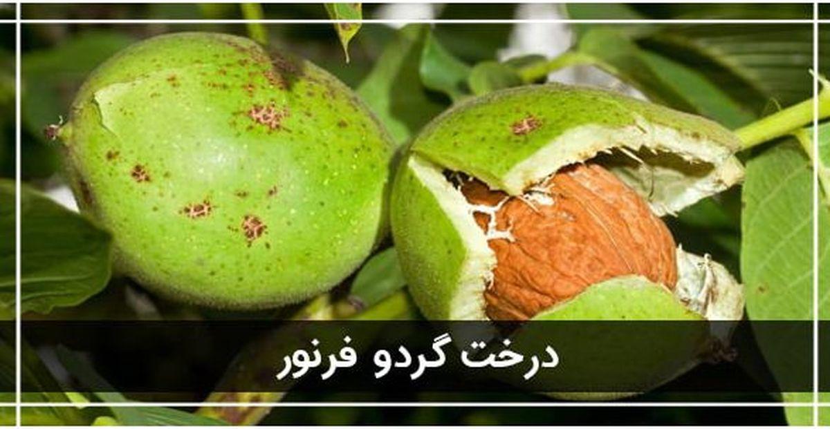 معرفی 3 نهال گردو پیوندی پرسود ایران