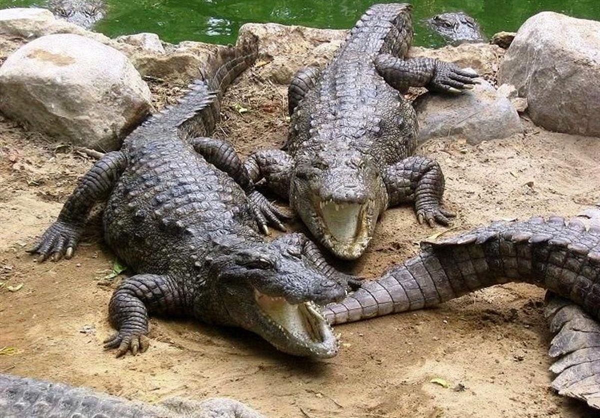 سیلزدگان بلوچستان مراقب تمساحها باشند