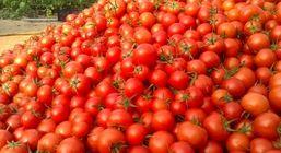 قیمت گوجهفرنگی کاهش یافت !