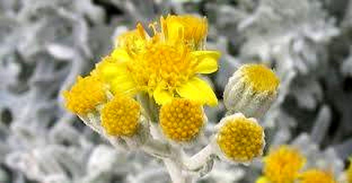 گیاهی معجزه گر که سلول سرطانی را در 16 ساعت از بین می برد