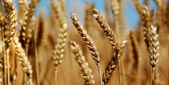 تولید گندم در فارس ۳۰ درصد رشد کرد