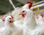 سلاطین قاچاق 12 تن مرغ در اردبیل دستگیر شدند!