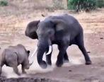 صحنه ای جالب از نبرد بین فیل و کرگدن+فیلم