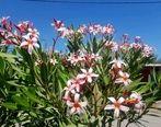 افزایش سطح زیر کشت ۷ گونه درخت گلدار در فضای سبز جزیره قشم