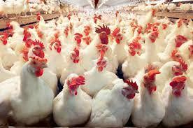 تولید سالیانه بیشاز هزار تن گوشت مرغ در نیکشهر