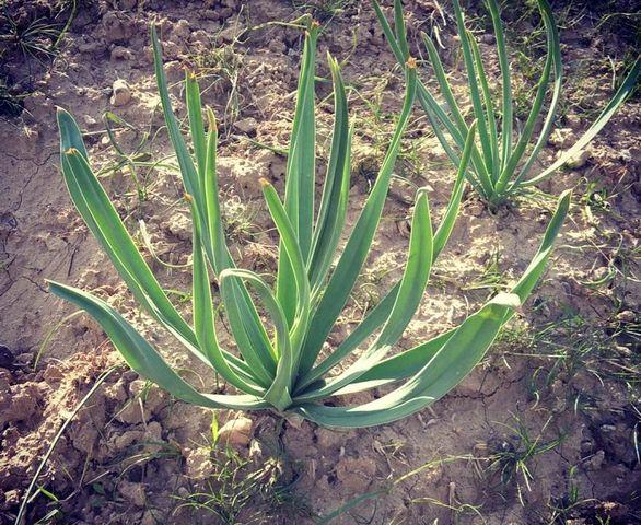 خواص گیاه چریش چیست؟ + مضرات