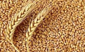 خرید تضمینی بیش از 7.6 میلیون تن گندم در شعب بانک کشاورزی تا نیمه شهریور ماه